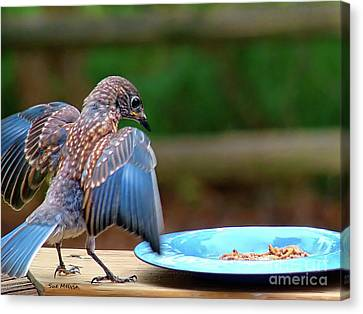 Young Bluebird's Delight Canvas Print by Sue Melvin
