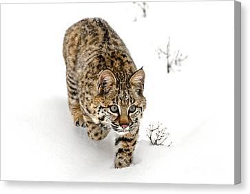 Young Bobcat Stalking Canvas Print by Melody Watson