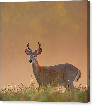 Young Buck Square Canvas Print by Bill Wakeley
