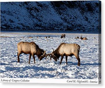 Canvas Print featuring the photograph Young Bull Elk In Jackson  Hole In Wyoming by Carol M Highsmith