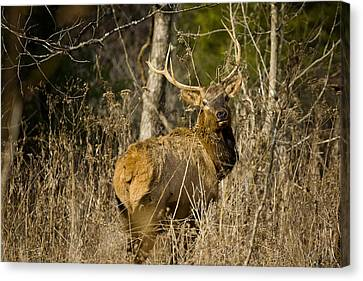 Canvas Print featuring the photograph Young Bull On A Woodland Trail by Michael Dougherty