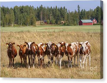 Young Calves On Pasture Canvas Print