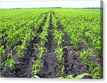 Young Corn Field Canvas Print