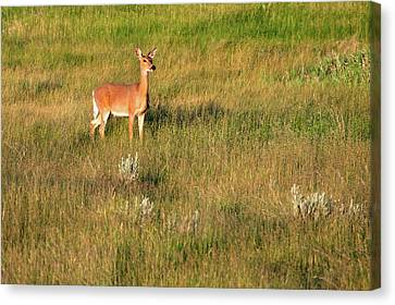 Young Deer Canvas Print by Todd Klassy