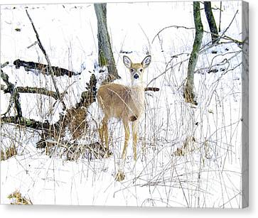 Young Doe And Spring Snow Canvas Print by Robyn King