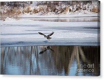 Young Eagle Reflection And Shadow Canvas Print by David Bearden