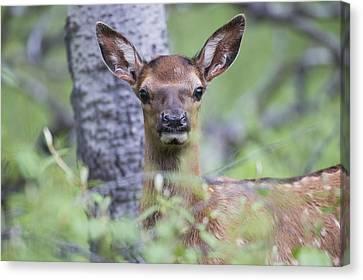 Young Elk  Cervus Canadensis , Jasper Canvas Print