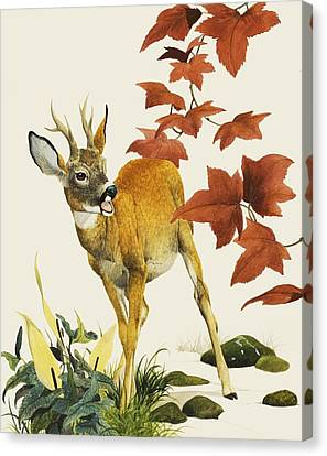 Young Fallow Deer Canvas Print by English School