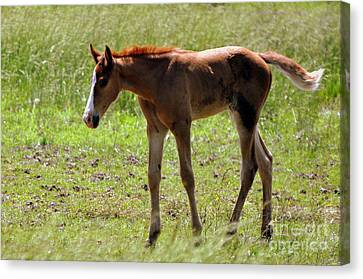 Young Foal Canvas Print by Marty Koch