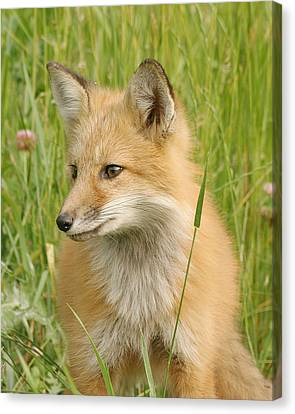 Canvas Print featuring the photograph Young Fox by Doris Potter