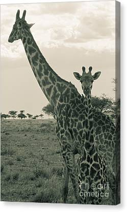 Young Giraffe With Mom In Sepia Canvas Print by Darcy Michaelchuk