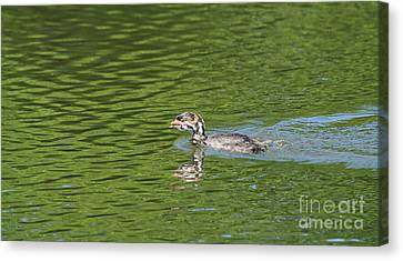 Young Grebe Canvas Print by Marv Vandehey