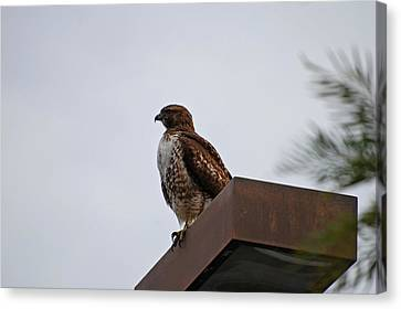 Young Hawk Canvas Print by Jean Booth