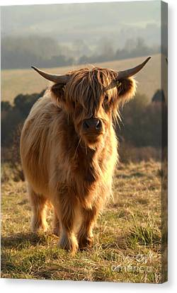 Young Highland Cow Canvas Print by Serena Bowles
