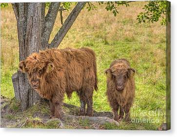 Young Highland Canvas Print