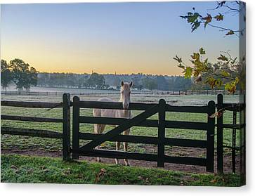 Young Horse At Erdenheim Farms Canvas Print