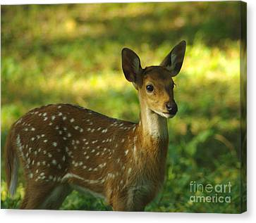 Canvas Print featuring the photograph Young Indian Spotted Deer by Jacqi Elmslie