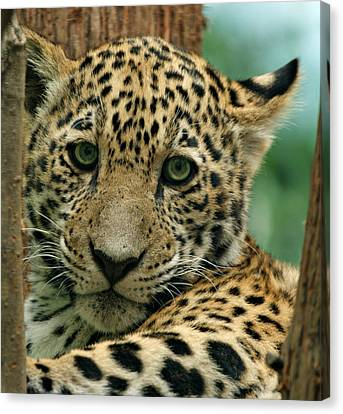 Young Jaguar Canvas Print by Sandy Keeton
