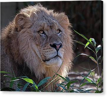 Young Lion King Canvas Print by Ronda Ryan