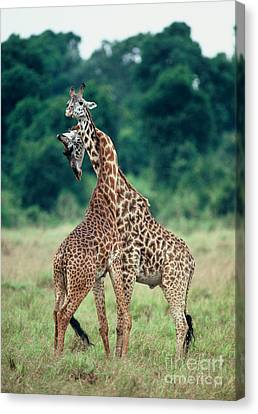 Young Male Giraffes Necking Canvas Print by Greg Dimijian