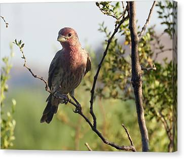 Young Male House Finch Canvas Print