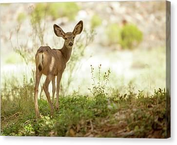 Mule Deer Canvas Print - Young Mule Deer Looking Back Into Camera by Susan Schmitz