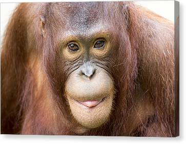 Young Orangutan Portrait Canvas Print by John McQuiston