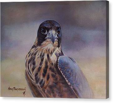 Young Peregrine Falcon Canvas Print