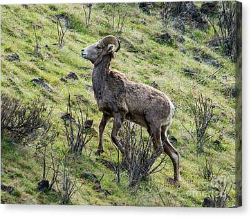 Canvas Print featuring the photograph Young Ram Climbing by Mike Dawson
