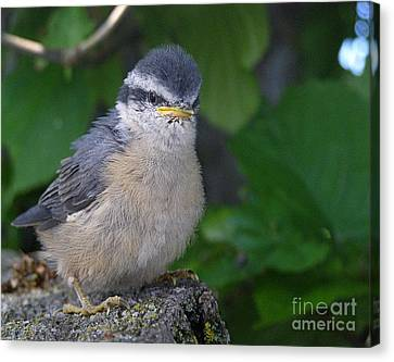 Canvas Print featuring the photograph Young Red-breasted Nuthatch No. 1 by Angie Rea