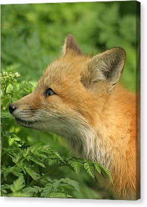 Canvas Print featuring the photograph Young Red Fox In Profile by Doris Potter