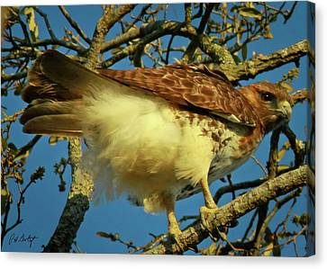 Young Red-tail Canvas Print by Phill Doherty