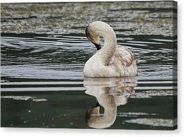 Young Reflection  Canvas Print