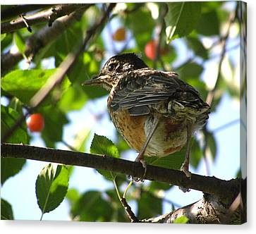 Canvas Print featuring the photograph Young Robin by Angie Rea
