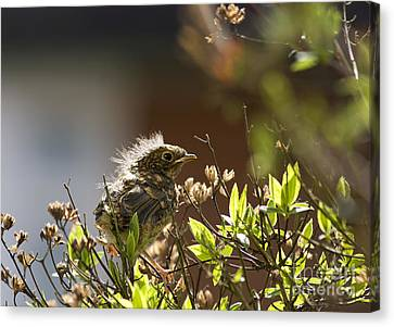 Young Robin Canvas Print by Jane Rix