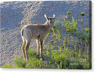 Young Rocky Mountain Bighorn Sheep Canvas Print by Louise Heusinkveld