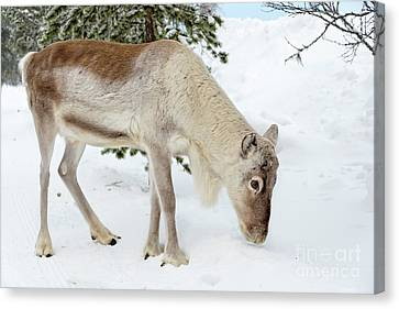 Canvas Print featuring the photograph Young Rudolf by Delphimages Photo Creations