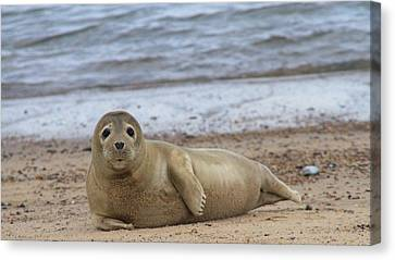 Young Seal Pup On Beach - Horsey, Norfolk, Uk Canvas Print by Gordon Auld