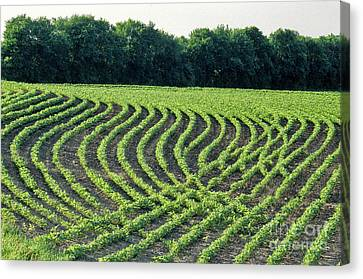 Contour Farming Canvas Print - Young Soybean Plants by Inga Spence