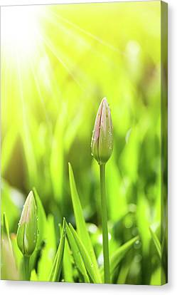 Young Tulip Blossoms Field, Nature Background. Canvas Print