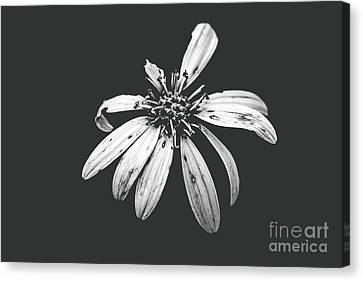 Canvas Print - You're Perfect To Me - Bw With Sheer Haze by Scott Pellegrin