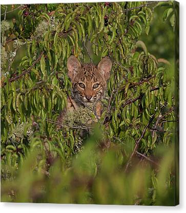 Baby Bobcat Canvas Print - Youthful Innocence by Ronnie Maum