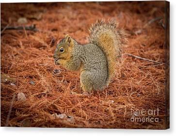 Yum Yum Nuts Wildlife Photography By Kaylyn Franks     Canvas Print by Kaylyn Franks