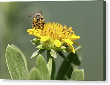 Yumm Pollen Canvas Print by Christopher L Thomley