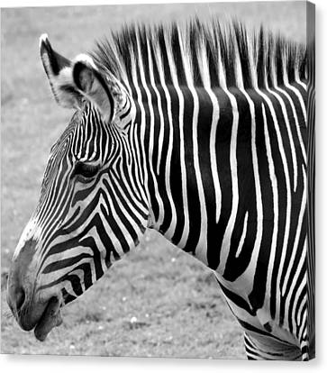 Zebra - Here It Is In Black And White Canvas Print by Gordon Dean II