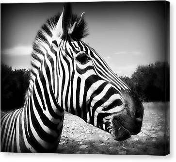 Zebra 2 Canvas Print by Perry Webster