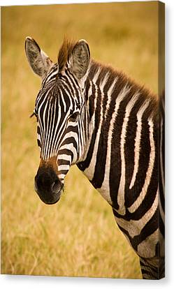 Kids Room Art Canvas Print - Zebra by Adam Romanowicz