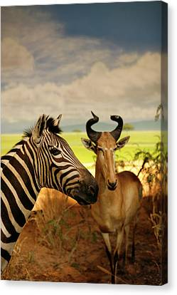Zebra And Antelope Canvas Print by Marilyn Hunt