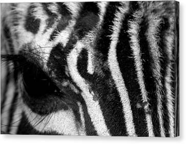 Zebra Eye Canvas Print by Dana  Oliver