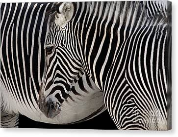 Zebra Head Canvas Print by Carlos Caetano